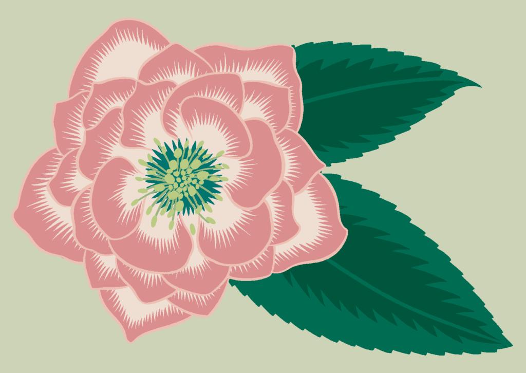pinkhellebore